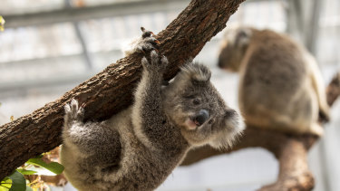 Hanging on: Koalas in NSW just lost one-fifth of their best habitat.