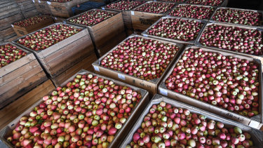Fresh apples ready to be sold to supermarkets.