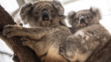 A koala and its joey that were rescued from the fire-ravaged Blue Mountains and brought to Taronga Zoo.
