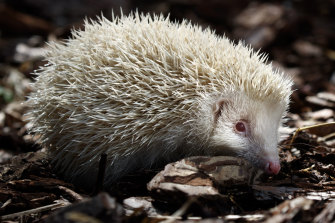 Jack Frost, a rare albino hedgehog that has been rescued by Prickly Pigs Hedgehog Rescue, England.  Only one in 100,000 hedgehogs are born albino - with no melanin pigment in their skin, eyes or spines.
