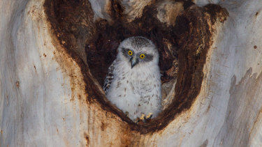 The lack of nesting hollows means that owls cannot breed in most urban locations.