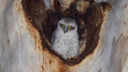 Will powerful owls give two hoots for 'LEGO' prosthetic nest box?