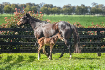 Grunt's first foal, pictured at Yulong, Nagambie, with mare Peninsula Miss.