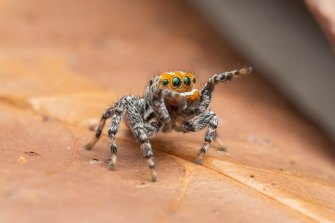 The peacock spider.