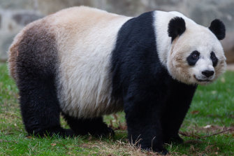 Even through a camera lens,  Mei Xiang's mood radiated. It's fair to say she was fed up.