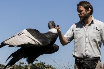 Bird keeper Brendan Host with the Condor at Taronga Zoo.