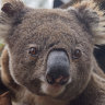 Struggling koalas get a new home and you can stay there, too