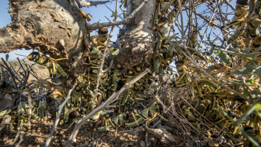Young desert locusts that have not yet grown wings crowd together on a thorny bush in the desert near Garowe, Somalia.