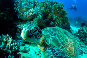 A large green sea turtle takes some downtime while Camp, in the background, makes her way to her work site.