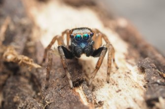 The new species of jumping spider discovered by Amanda De George.