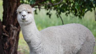 The alpacas in Bairnsdale.