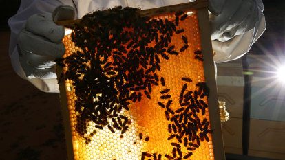 Warning over impact of alleged fake honey on Australia's bees and crops