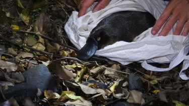 Wildlife Queensland is warning Brisbane's native platypus population is at risk, with the animals disappearing from a number of areas.