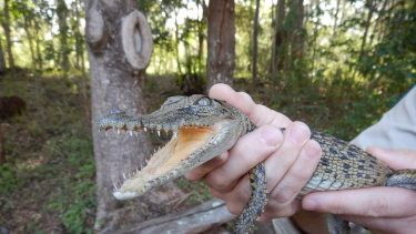 A Department of Environment employee helps rescue a crocodile that was found near a park in Chermside.