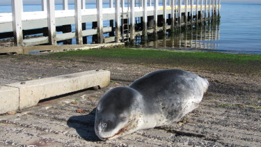 The sun baking Sea Lion from Antarctica, resting on a Brighton boat ramp.