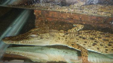 The crocodile is recovering in a facility in Moggill.