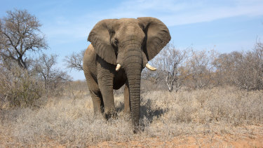 About 100,000 African elephants are estimated to have been poached between 2007 and 2013.