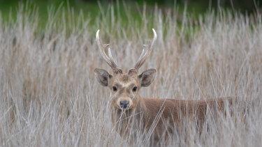 A hog deer, photographed at Tidal River.