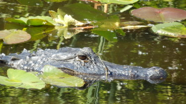 An alligator in the Florida Everglades.