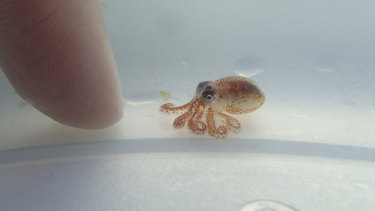 A tiny baby octopus inside a plastic container at Kaloko-Honokohau National Historical Park in waters off Kailua-Kona, Hawaii.