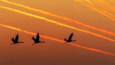 A rare sight to behold: Siberian cranes take flying training at Wuxing Farm in the eastern China's Jiangxi Province.
