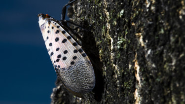 Philadelphia police asked residents to stop calling emergency services to report lanternfly sightings.
