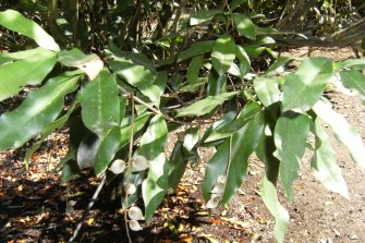 The rare macadamia jansenii trees that were destroyed by fires near Bundaberg over the summer.