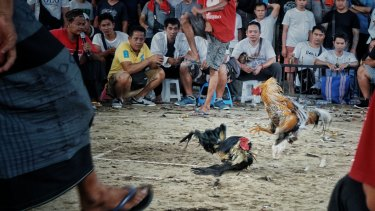 Cockfighting known as Tajen, an illegal gambling event in Bali.