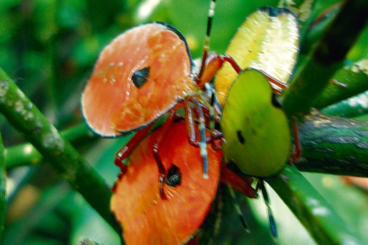 Stink bugs in plague proportion threaten certain crops.