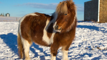 Miniature horses have joined cats and dogs on Alaska Air's approved service animals list.