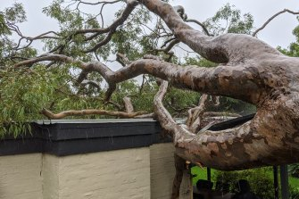 A fallen tree in Greenwich, Sydney.
