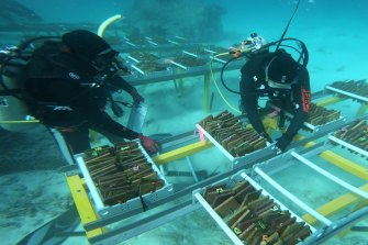 Researchers place corals grown from warmer waters into trays.