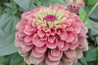 Zinnia 'Queeny Lime Red'.