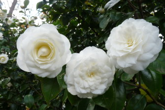 Camellia Japonica. Alba Plena: One of the earliest Chinese camellias to reach the Western world (1792), rose to become the colonial symbol of womanly excellence and the women's vote in the 1890s.