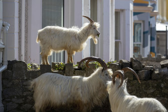 The goats have been nibbling hedges as they make themselves at home in the quiet streets in Llandudno, north Wales.