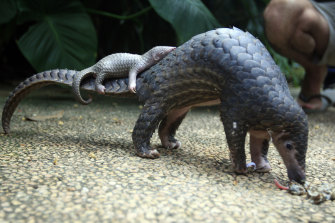 A pangolin carries its baby in a Bali zoo. Pangolin scales are in high demand for use in traditional Chinese medicine.