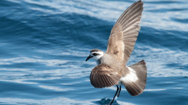 A white-faced storm petrel, photographed off Port Stephens, by bird watchers.