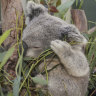 'Net gain' for koalas under approval of controversial quarry expansion: Ley