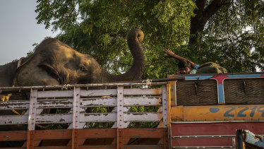 Elephants have been brought in to help capture the man-eating tigress known as T-1.