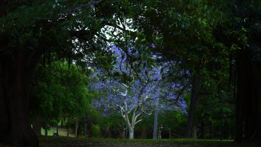A blooming jacaranda tree in the grounds of Callan Park.