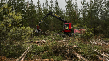 An excavator works to remove 3000 hectares of dead trees at Kowen Forest because of a freak combination of hail and fungal damage in 2016.