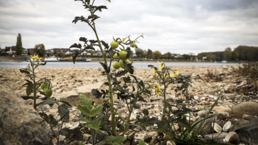 Wild tomatoes growing in the riverbed of the Rhine in Bonn, Germany.
