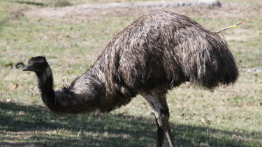 More than a year after it was shot, an emu moving around the Cotter area still has an arrow protruding from its body.
