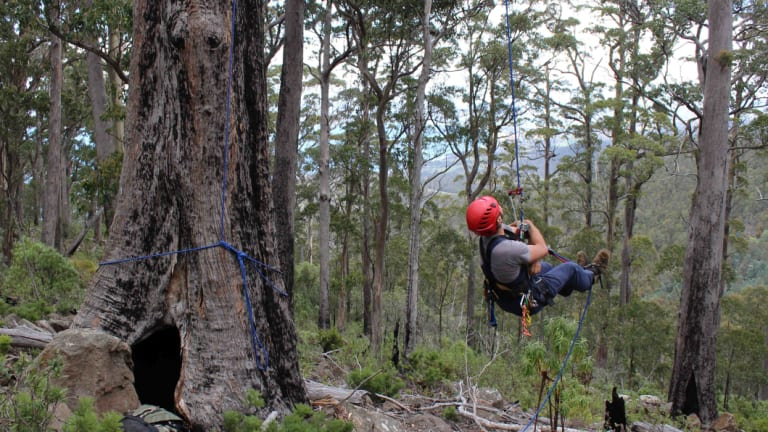 Dr Dejan Stojanovic scales a tree to check on swift parrots, who enjoy nesting in tall, old trees