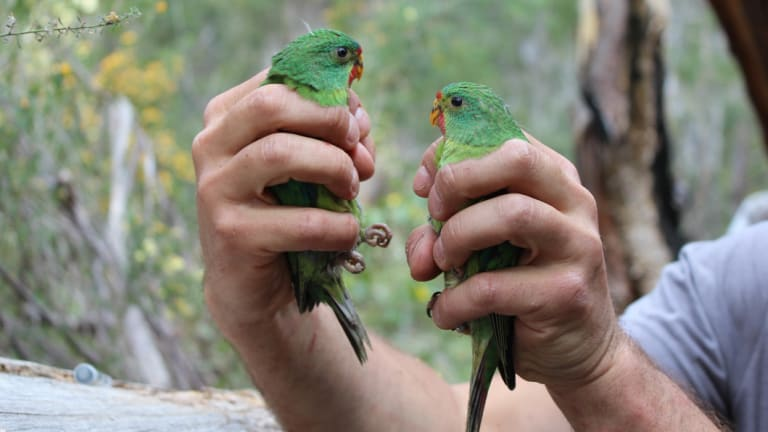 Swift parrots are critically endangered and under threat from logging in Tasmania.