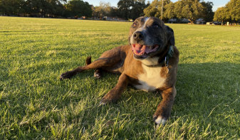 Bella the staffy cross from Mount Lawley.