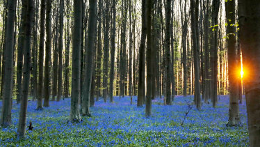 The sun rises over a carpet of wild Hyacinth flowers in the Hallerbos in Halle, Belgium. The wild Hyacinths, also known as Bluebells, are particularly associated with ancient woodland.