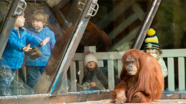 Families got a warm-ish welcome from this orang-utan when crowds returned to Melbourne Zoo on Monday.
