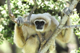 White-handed gibbon released into the wild in Thailand