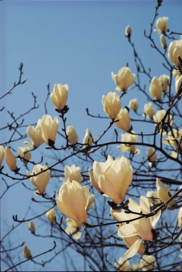 Hot bushfire winds seem to make magnolia buds swell faster and flower more stunningly than ever.